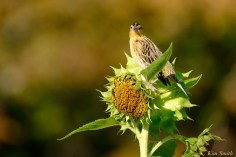 Bobolinks School Street Sunflowers copyright Kim Smith - 21 of 34