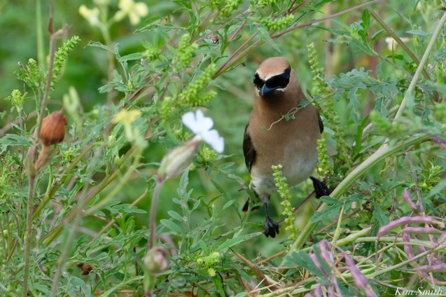 Cedar waxwing Rageww copyright Kim Smith