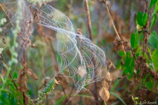 Orb Spider Webs Eastern Point Gloucester MA copyright Kim Smith - 1 of 13