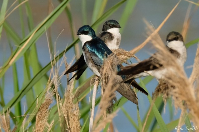 Tree Swallows Gloucester MA copyright Kim Smith - 1 of 17