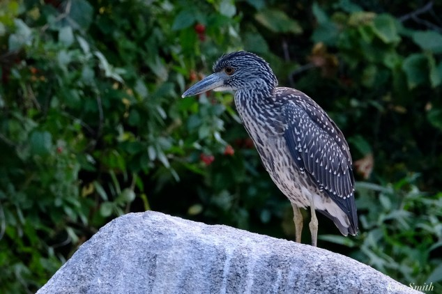 Black-crowned Night Heron Juvenile Massachusetts copyright Kim Smith - 36 of 56
