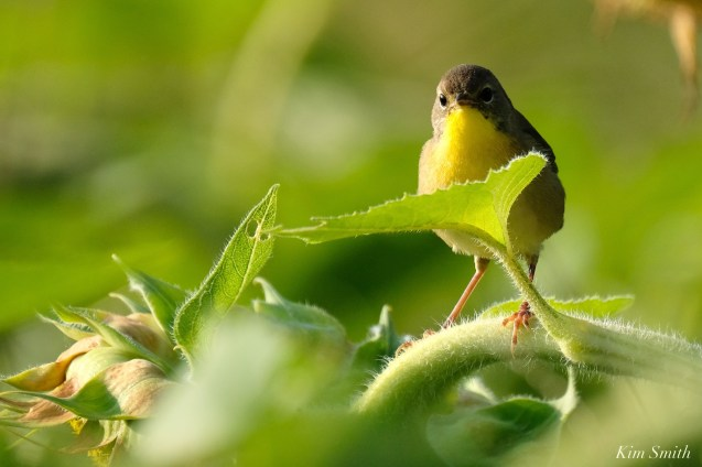 Common Yellowthroat Warbler Sunflower Field copyright Kim Smith - 1 of 7