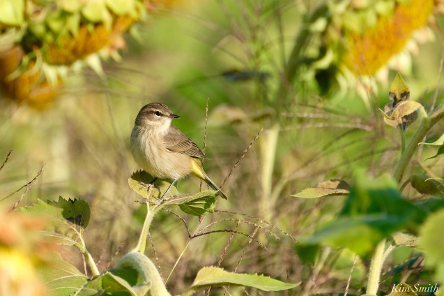 Common Yellowthroat Warbler Sunflower Field copyright Kim Smith - 6 of 7