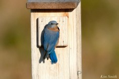 Eastern Bluebird Male copyright Kim Smith - 15 of 24