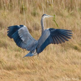 Great Blue Heron Gloucester copyright Kim Smith - 3 of 5