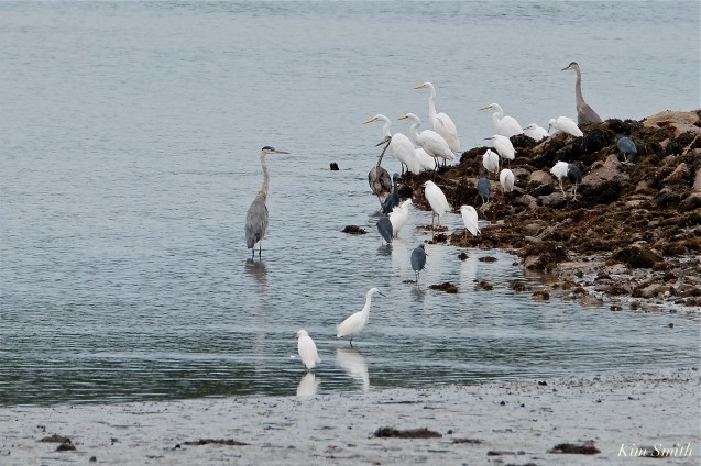 Herons waiting for Cormorant feeding frenzy Massachusetts copyright Kim Smith - 10 of 56