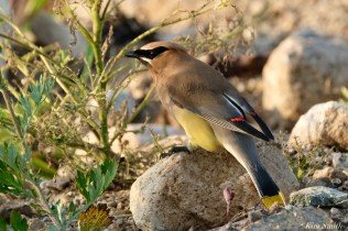 Cedar Waxwing Essex County Massachusetts copyright Kim Smith - 15 of 37