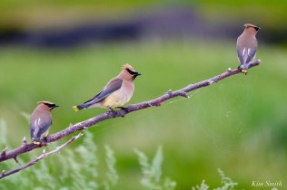 Cedar Waxwing Essex County Massachusetts copyright Kim Smith - 17 of 37
