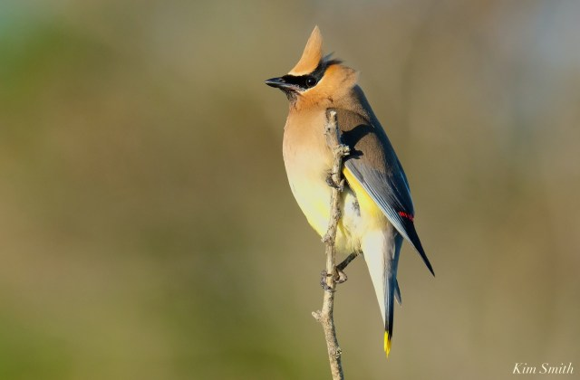 Cedar Waxwing Essex County Massachusetts copyright Kim Smith - 33 of 37