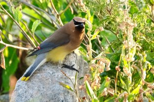 Cedar Waxwing Essex County Massachusetts copyright Kim Smith - 9 of 37
