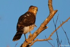 Coopers Hawk Essex County Massachusetts copyright Kim Smith - 26 of 37
