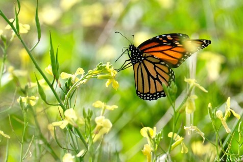 Monarch Butterfly Migration Black Mustard October copyright Kim Smith