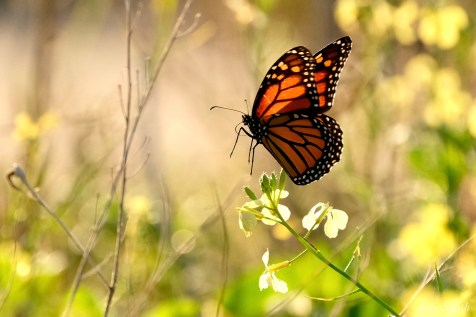 Monarch Butterfly migration Black Mustard copyright Kim Smith