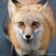 Red Fox Vulpes vulpes Essex County copyright Kim Smith