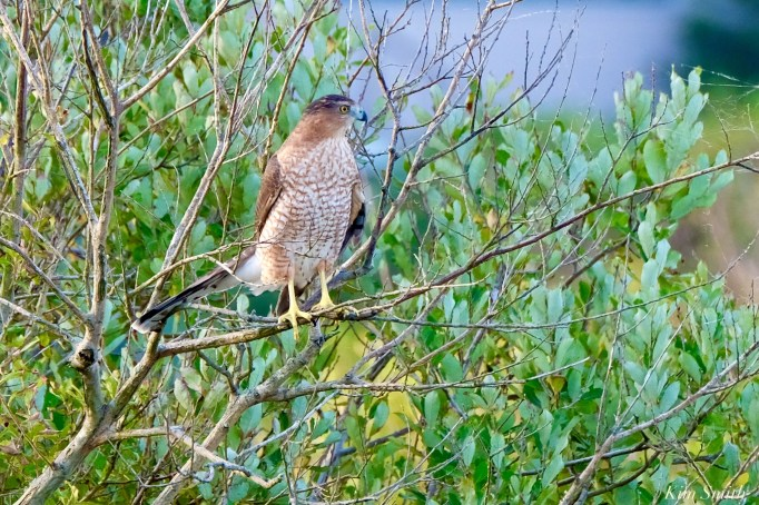 Sharp-shinned Hawk Essex County Massachusetts copyright Kim Smith - 36 of 37