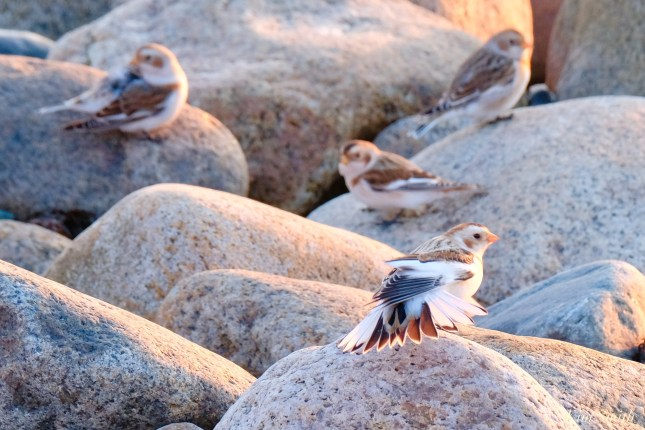 Snow Buntings Massachusetts copyright Kim Smith - 14 of 27
