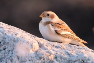 Snow Buntings Massachusetts copyright Kim Smith - 16 of 27
