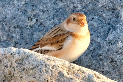 Snow Buntings Massachusetts copyright Kim Smith - 25 of 27