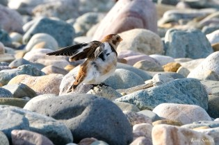 Snow Buntings Massachusetts copyright Kim Smith - 5 of 27