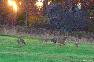 White-tailed Deer Essex County copyright Kim Smith - 6 of 11