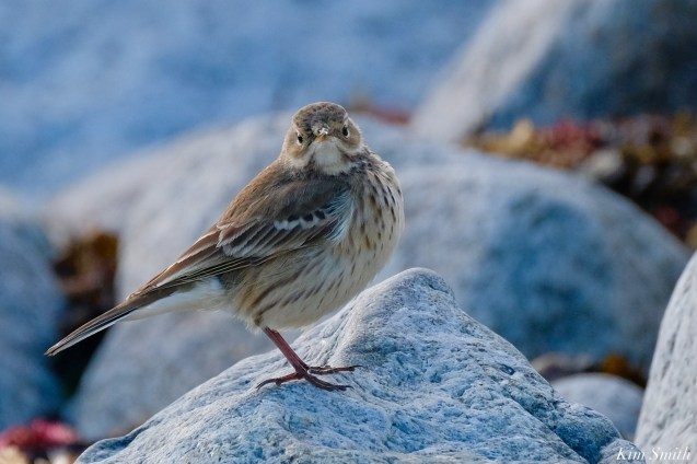 American Pipit Essex County Massachusetts copyright Kim Smith - 3 of 21