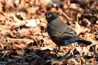 American Robin December Gloucester copyright Kim Smith - 1 of 5