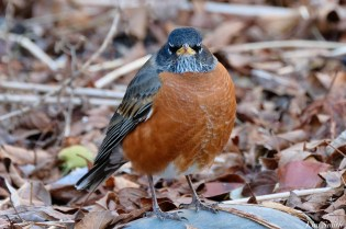 American Robin December Gloucester copyright Kim Smith - 3 of 5