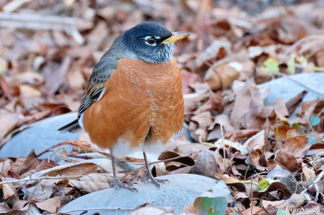 American Robin December Gloucester copyright Kim Smith - 4 of 5