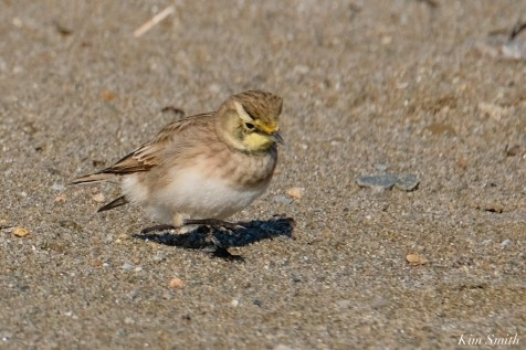 Horned Lark Essex County Massachusetts copyright Kim Smith - 11 of 21