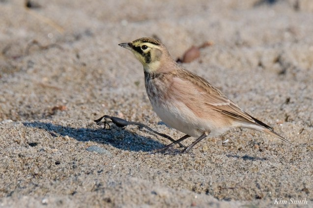 Horned Lark Essex County Massachusetts copyright Kim Smith - 20 of 21