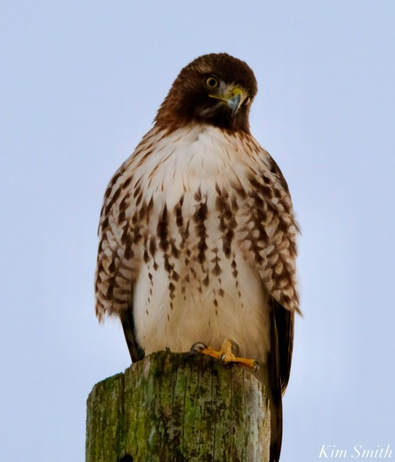 Red-tailed Hawk Crescent Moon copyright Kim Smith - 4 of 5