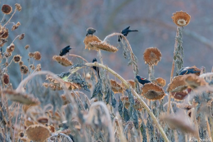 Red-winged Blackbirds School Street Sunflowers Autumn Essex County copyright Kim Smith - 22 of 22