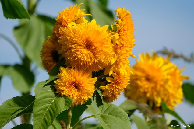 School Street Sunflowers Autumn Essex County copyright Kim Smith - 18 of 22