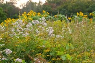 School Street Sunflowers Autumn Essex County copyright Kim Smith - 9 of 22