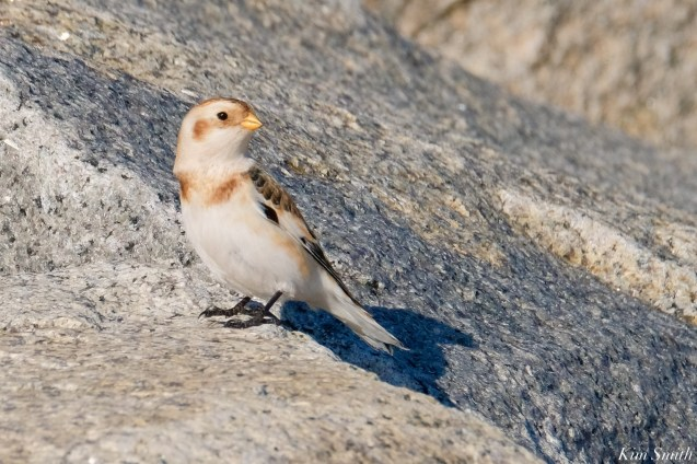 Snow Bunting Essex County Massachusetts copyright Kim Smith - 12 of 21
