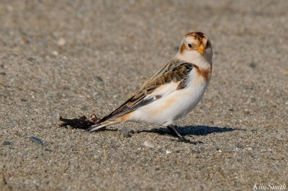 Snow Bunting Essex County Massachusetts copyright Kim Smith - 16 of 21