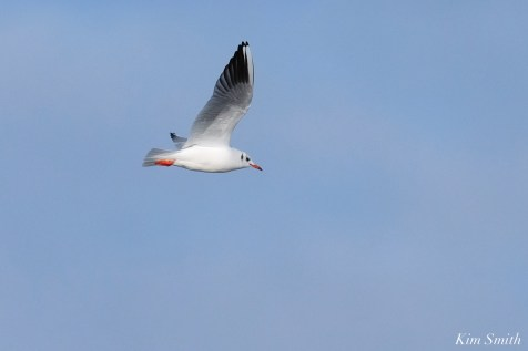 Black-headed Gull Gloucester Essex County Massachusetts copyright Kim Smith - 24 of 24