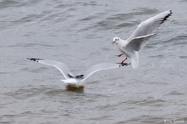 Black-headed Ring-billed Gulls Gloucester Essex County Massachusetts copyright Kim Smith - 3 of 24
