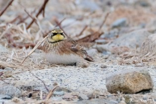Horned Larks Eastern Point Essex Cpunty copyright Kim Smith - 1 of 9