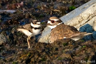 Killdeer chick and adult Essex County copyright Kim Smith