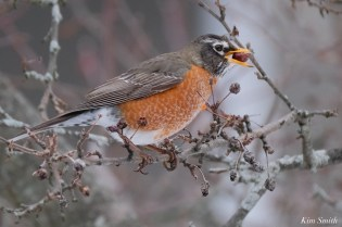 American Robin Winter Robin copyright Kim Smith - 10 of 14