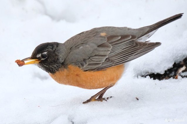 American Robin Winter Robin copyright Kim Smith - 12 of 14