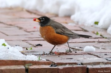 American Robin Winter Robin copyright Kim Smith - 13 of 14