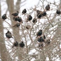 European Starlings Winter Robin copyright Kim Smith - 1 of 1