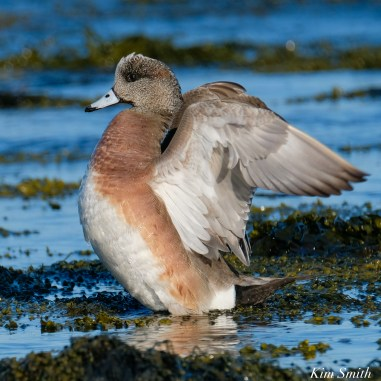 American Wigeon Essex County Massachusetts copyright Kim Smith - 9 of 16