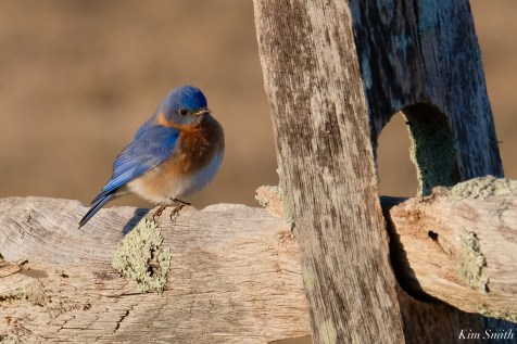 Bluebird Lovebirds Male Female Essex County copyright Kim Smith - 1 of 1
