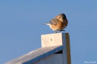 Bluebird Lovebirds Male Female Essex County copyright Kim Smith - 11 of 31