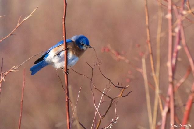 Bluebird Lovebirds Male Female Essex County copyright Kim Smith - 15 of 31