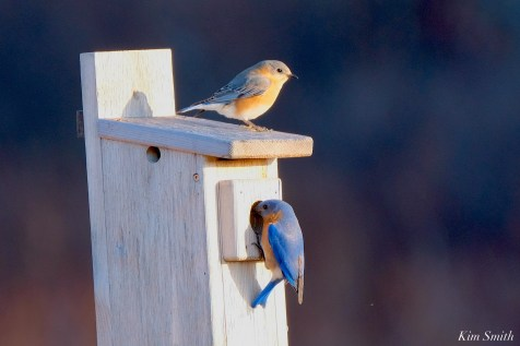 Bluebird Lovebirds Male Female Essex County copyright Kim Smith - 17 of 31