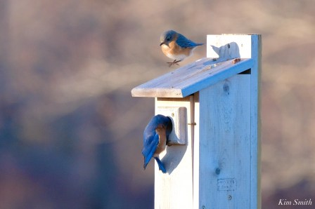 Bluebird Lovebirds Male Female Essex County copyright Kim Smith - 22 of 31